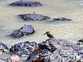 Blue-banded Kingfisher (14839672828).jpg