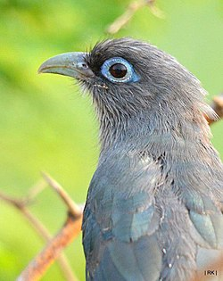 Blue-faced malkoha.jpg