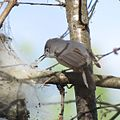 Blue-gray Gnatcatcher (26715972330).jpg