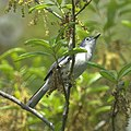 Blue-grey Gnatcatcher (7098674845).jpg