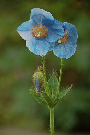 Meconopsis - Blue poppy (Meconopsis sp.)