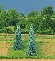 Blue Spruce - panoramio.jpg