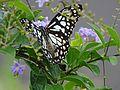 Blue Tiger Butterfly Ezhimala Kerala.jpg