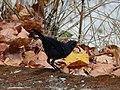Blue Whistling Thrush - Myophonus caeruleus - P1030880.jpg