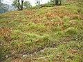 Bluebell Wood, Glen Etive - geograph.org.uk - 1281858.jpg