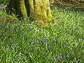 Bluebell Woods - geograph.org.uk - 790437.jpg