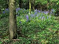 Bluebells alongside the A447 Hinckley Road - geograph.org.uk - 1319655.jpg