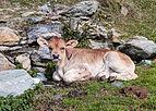 Boerderij Arpisson (2327m.) boven Gimillan in Cogne Valley (Italië). Kalfje (Rund) bij de boerderij 01.jpg