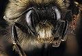 Bombus terricola, male, face 2012-07-12-16.54 (20609042425).jpg