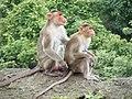 Bonnet Macaques Macaca radiata Kanheri SGNP Mumbai by Raju Kasambe DSCF0056 (1) 14.jpg