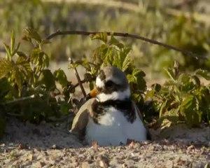 File:Bontbekplevier op nest op parkeerplaats-4963372.webm