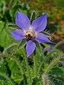 Borago officinalis 002.JPG