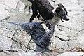 Border Collie Puppy in water.jpg