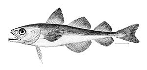 Boreogadus saida - Image: Boreogadus saida