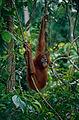 Bornean Orangutan (Pongo pygmaeus) (14585195012).jpg