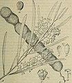 Botanische Jahrbücher für Systematik, Pflanzengeschichte und Pflanzengeographie (1904) (20214890688).jpg