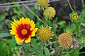 Botanischer Garten der Universität Zürich - Tagetes patula Hybride (Studentenblume) 2010-09-16 16-27-54.JPG