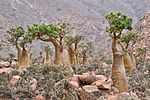 Bottle Trees, Socotra Island (9888518324).jpg