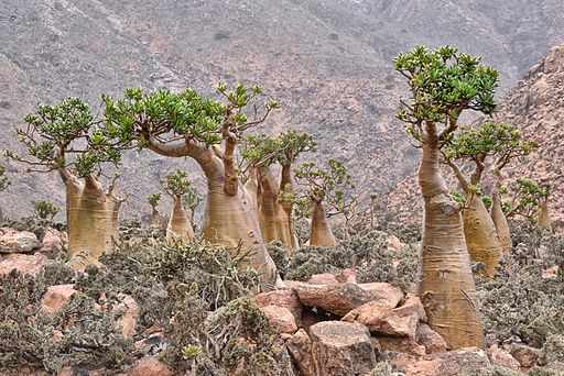 Bottle Trees, Socotra Island (9888518324)