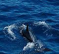 Bottlenose dolphin (4202556292).jpg