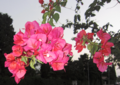 Bougainvillea in Khezershahr.png