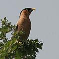 Brahminy Starling (Sturnus pagodarum) in Hyderabad W IMG 4470.jpg