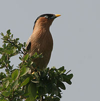 Brahminy Starling (Sturnus pagodarum) in Hyderabad W IMG 4470.jpg