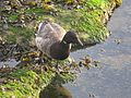Branta bernicla hrota Tynemouth Northumberland 2.jpg