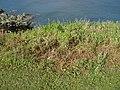 Brassica rapa sylvestris L. (AM AK299044-2).jpg