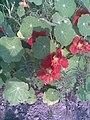 Brassicales - Tropaeolum majus 4 - 2011.07.11.jpg
