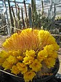 Bright yellow Weingartia flowers (4578514516).jpg