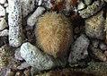 Brissus latecarinatus.jpg