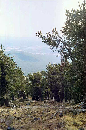 Fremont Peak (Arizona) - View through a grove of Rocky Mountain Bristlecone Pine growing on the south slope of Fremont Peak, Flagstaff is visible in the background
