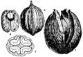 Britannica Hickory Carya alba fruit.png