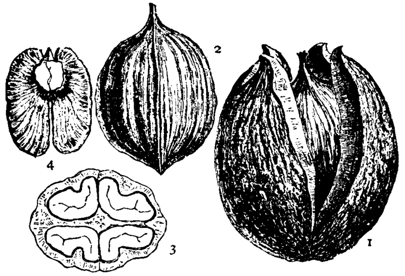 File:Britannica Hickory Carya alba fruit.png
