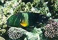 Broomtail wrasse.Cheilinus lunulatus.Перистохвостый хейлин..DSCF3964OB.jpg