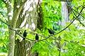 Brown-headed cowbird (33562283283).jpg