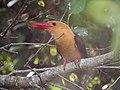 Brown-winged Kimgfisher (45957834022).jpg