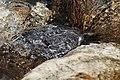 Brown Dipper- Immature feeding under water I IMG 6592.jpg