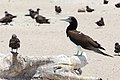 Brown booby, Michaelmas Cay.jpg