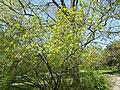 Budai Arborétum. Felső kert. Tatár juhar avagy feketegyűrű juhar (Acer tataricum). - Budapest.JPG