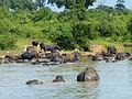 Buffles d'eau-Uda Walawe National Park (1).jpg