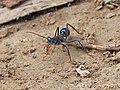 Bull Ant - Flickr - GregTheBusker.jpg