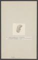 Bullaea aperta - - Print - Iconographia Zoologica - Special Collections University of Amsterdam - UBAINV0274 005 08 0039.tif