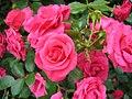 Bunch of pink roses 3315.jpg