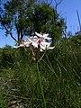 Burchardia umbellata flowers4 (8406163781).jpg