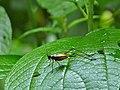 Bush Cricket (Nisitrus sp.) (8417908894).jpg
