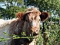 Bute Cow (36339292295).jpg