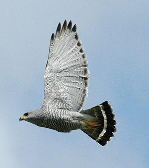 Gray hawk - Image: Buteo plagiatus Belize