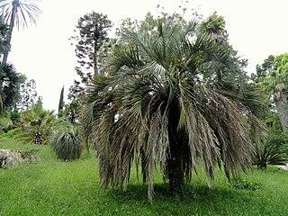 <i>Butia</i> genus of plants